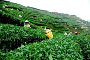 tea-garden_3803